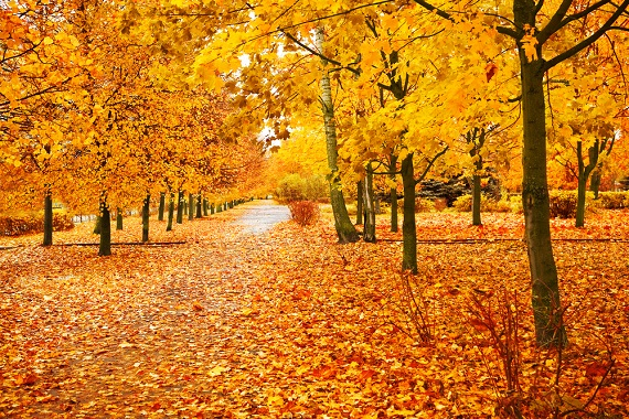 colorful fall trees with leaves carpeting the ground