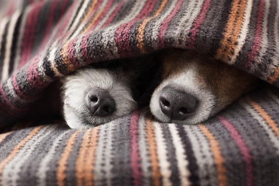 winter pet care - photo of dogs in a blanket