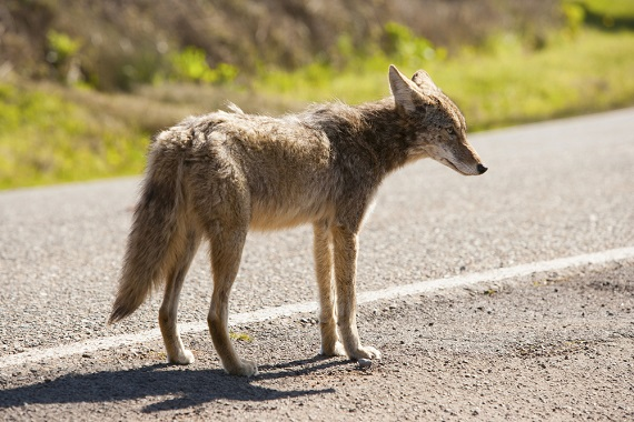 lone coyote in the road